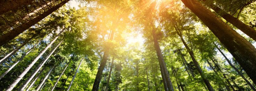 majestatycznie wyglądający las przebijany przez promienie słoneczne